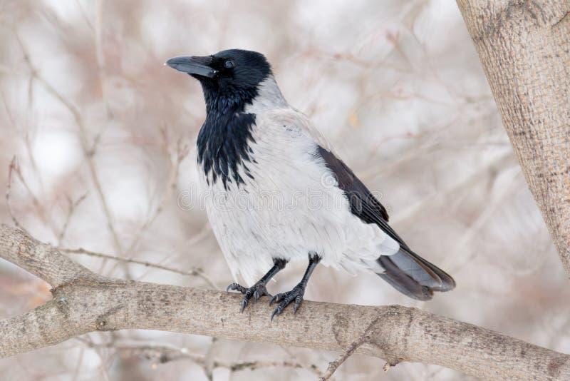Cornix encapuchado del Corvus del cuervo imágenes de archivo libres de regalías