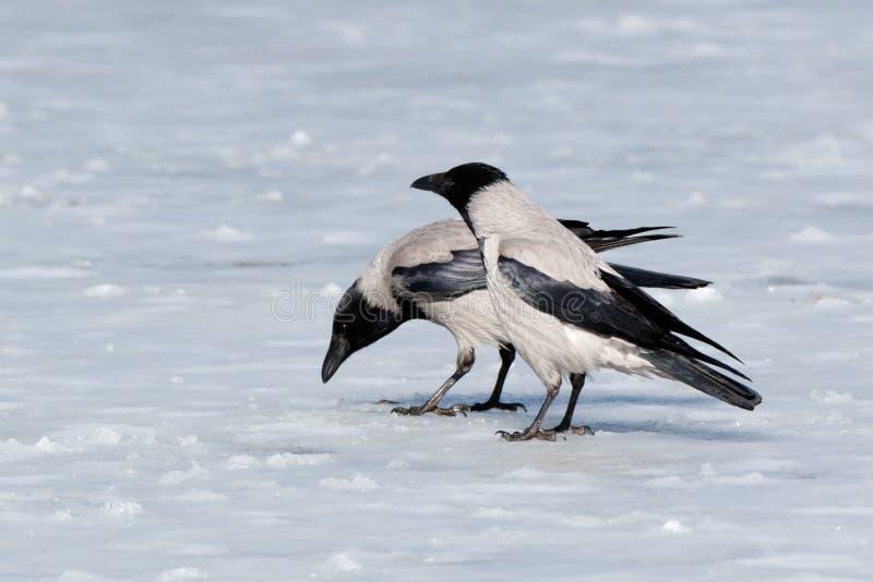 Cornix encapuchado del Corvus del cuervo fotos de archivo