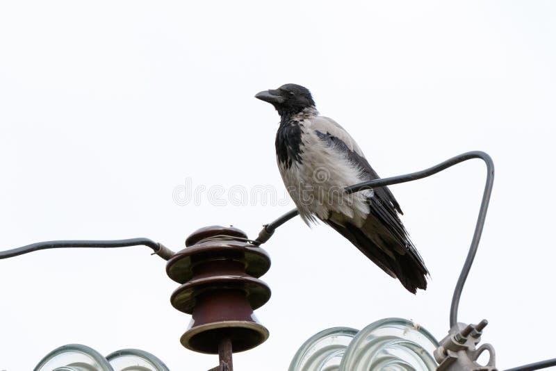 Cornix encapuchado del Corvus del cuervo foto de archivo libre de regalías