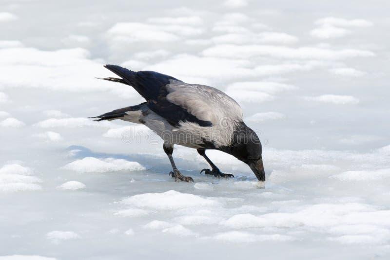 Cornix encapuchado del Corvus del cuervo imagenes de archivo