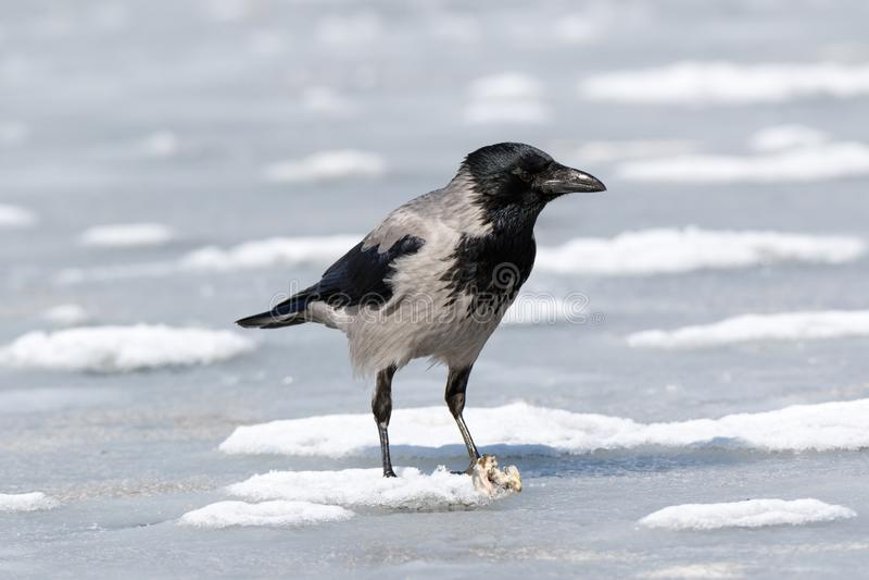 Cornix encapuchado del Corvus del cuervo fotografía de archivo libre de regalías