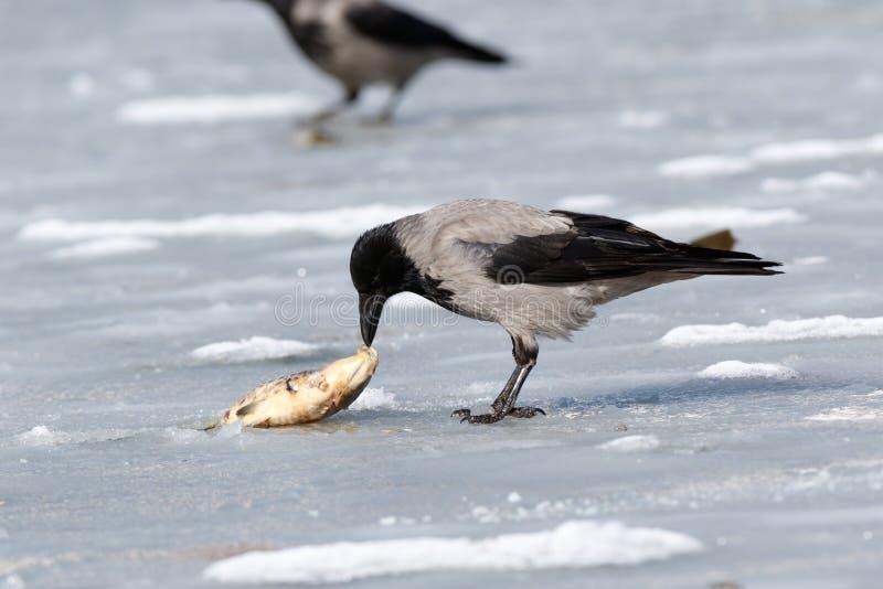 Cornix encapuchado del Corvus del cuervo imagen de archivo
