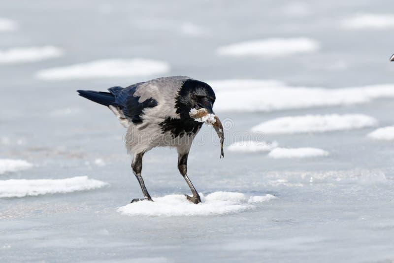 Cornix encapuchado del Corvus del cuervo fotos de archivo libres de regalías