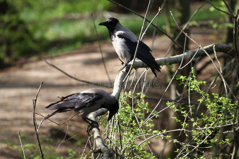 """Cornix encapuchado del Corvus del cuervo El cuervo encapuchado, cuervo gris o  del """"hoodie†fotos de archivo libres de regalías"""