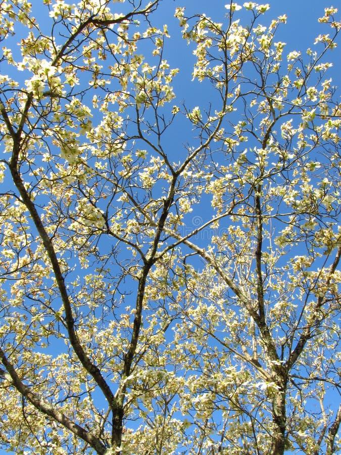 Cornouiller Blooms2 images libres de droits