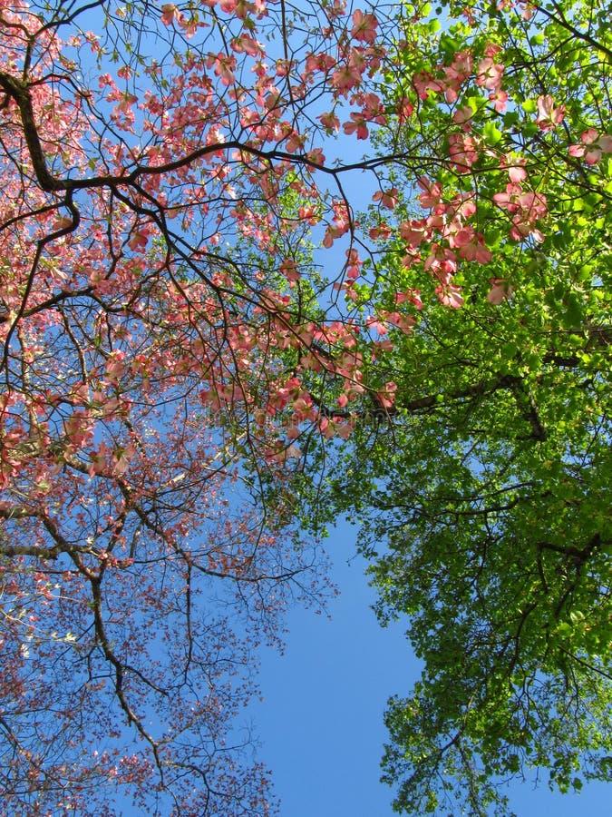 Cornouiller rose au printemps photographie stock libre de droits