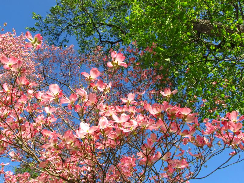 Cornouiller rose dans Spring4 photos stock