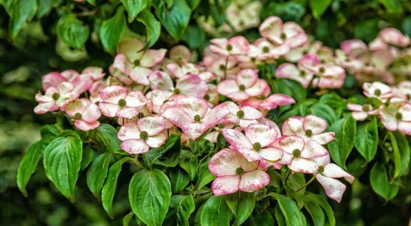 Download Cornouillers De Kousa En Fleur Image stock - Image du nature, printemps: 76076599