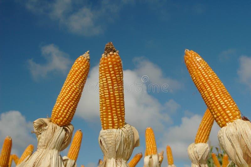 corns различные стоковое фото