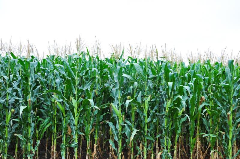 Corns Crops farmland isolated white.  stock image