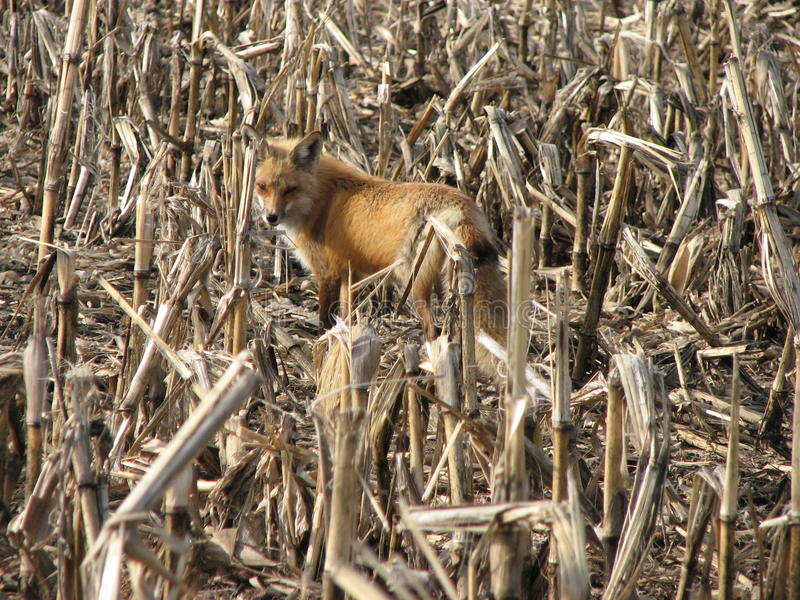Download Cornstalks στοκ εικόνες. εικόνα από αλεπού, πτώση, wildlife - 13181192