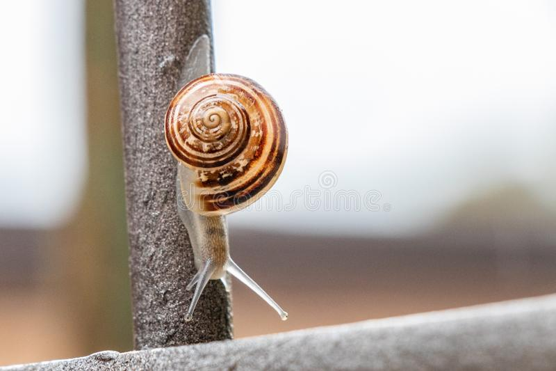 Close up view of a cute garden snail, slowly coming out of its shell. Lovely, brown, fibonacci, spiral, helix pattern. stock image