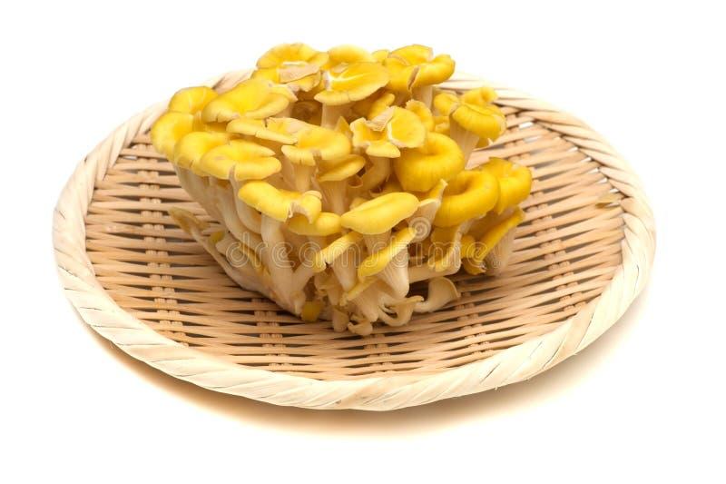 Cornucopiae jaunes de champignon-Pleurotus d'huître photos stock