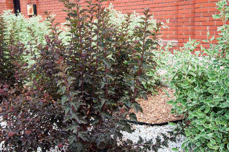 Cornus alba e o sanguinea do Cornus no projeto do jardim fotos de stock royalty free