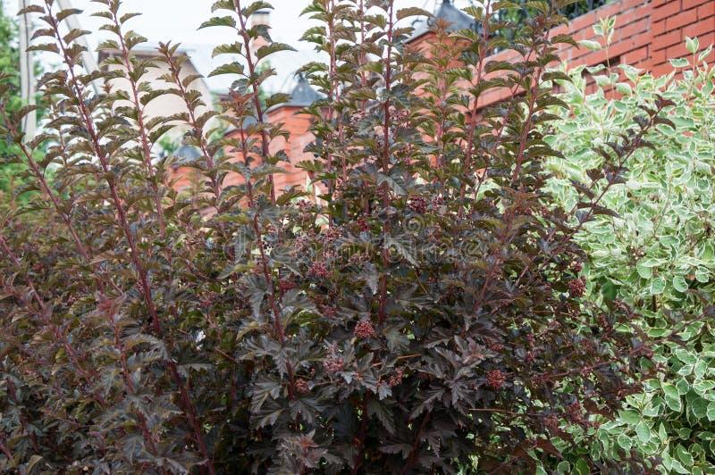 Cornus alba e o sanguinea do Cornus no projeto do jardim imagens de stock royalty free