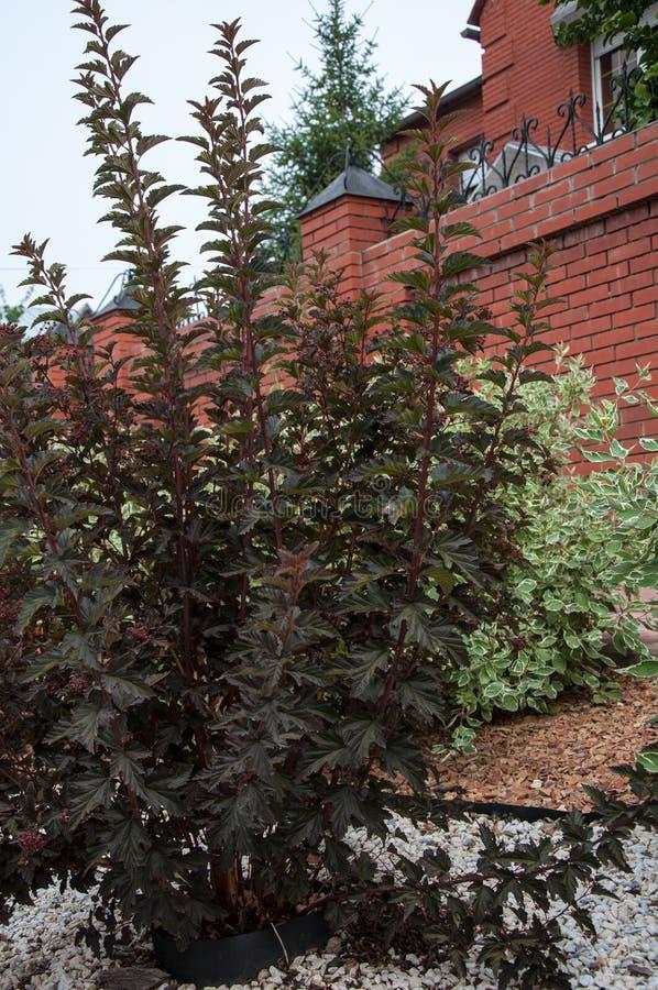 Cornus alba e o sanguinea do Cornus no projeto do jardim fotografia de stock