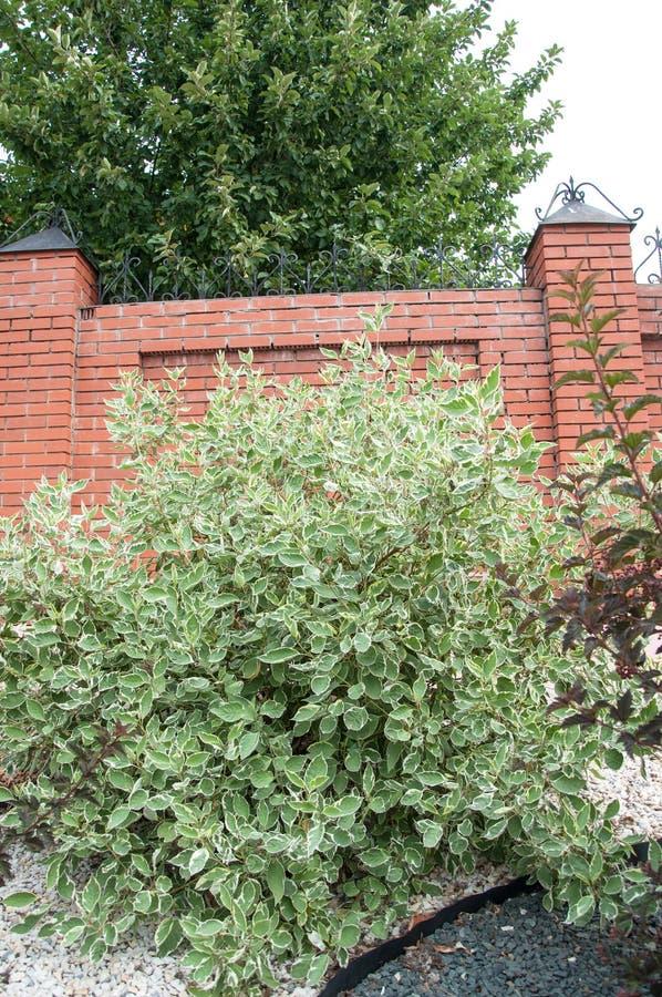Cornus alba e o sanguinea do Cornus no projeto do jardim fotos de stock