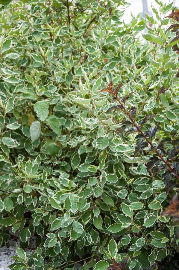 Cornus alba e o sanguinea do Cornus no projeto do jardim foto de stock royalty free