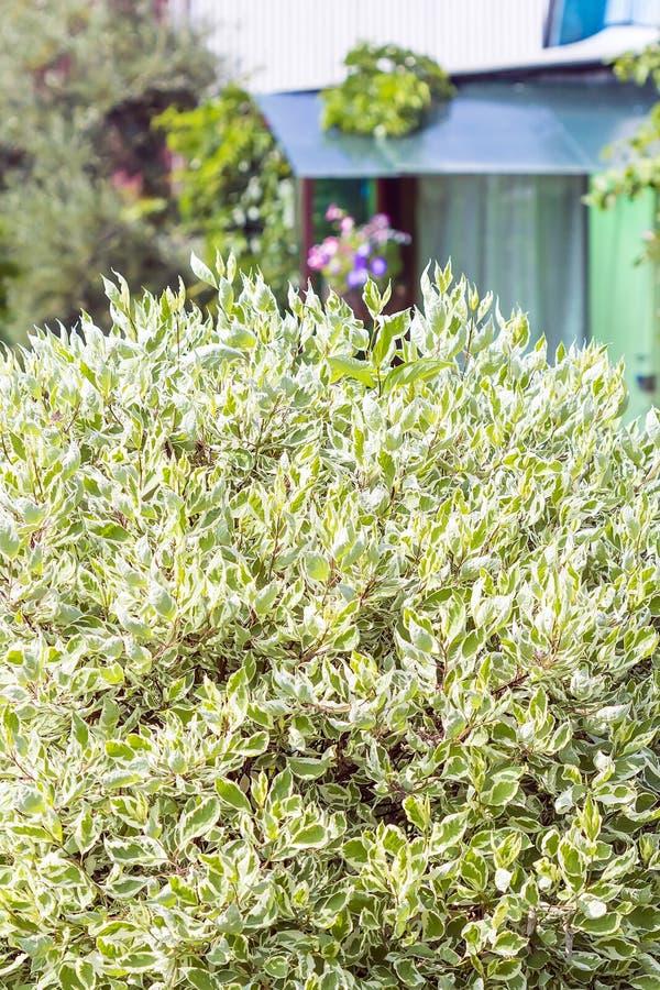 Cornus decorativo branco dos arbustos de Derain alba fotografia de stock royalty free