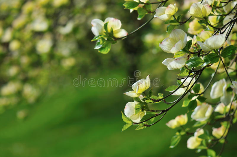 cornus dogwood ανατολικό άνθισμα της &Phi στοκ φωτογραφίες
