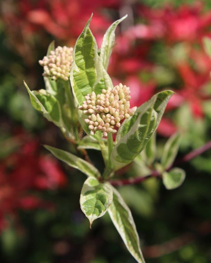 Cornus 'Elegantissima alba' imagens de stock