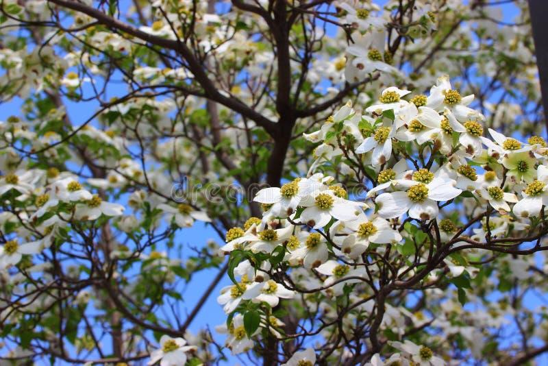 Cornus florida imagens de stock