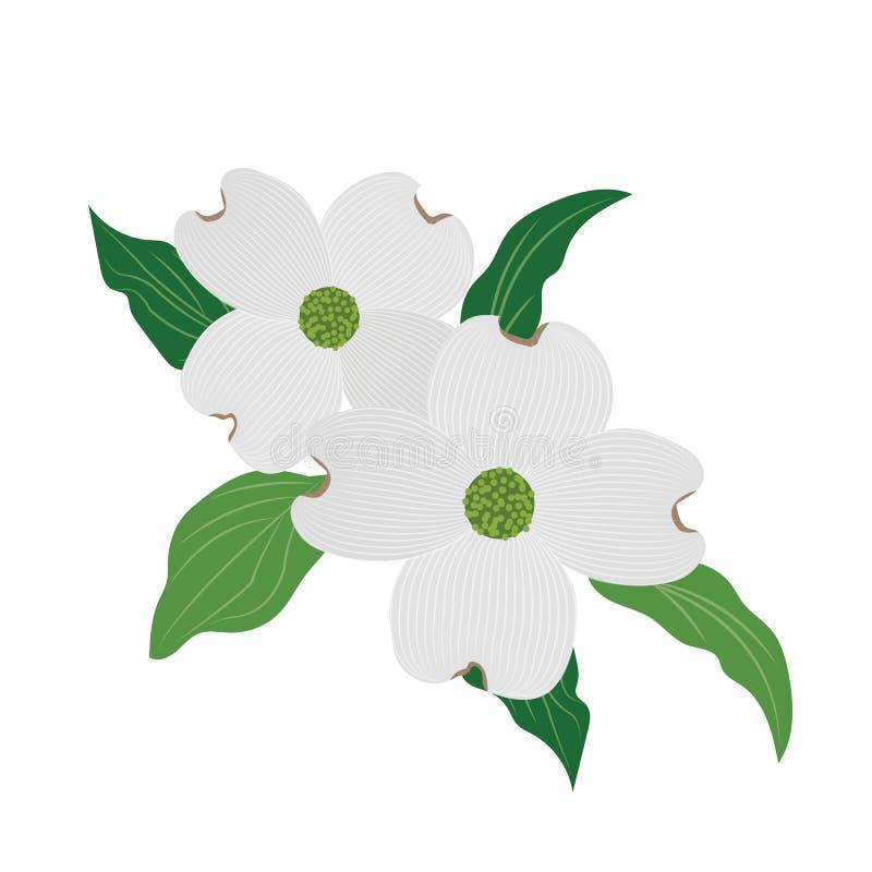 Cornus florida för skogskornell för naturblomma vit vektor illustrationer
