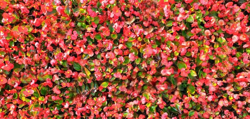 Cornus florida Flowering dogwood Native Plants city bloemen roze rode groene florale achtergrond royalty-vrije stock fotografie