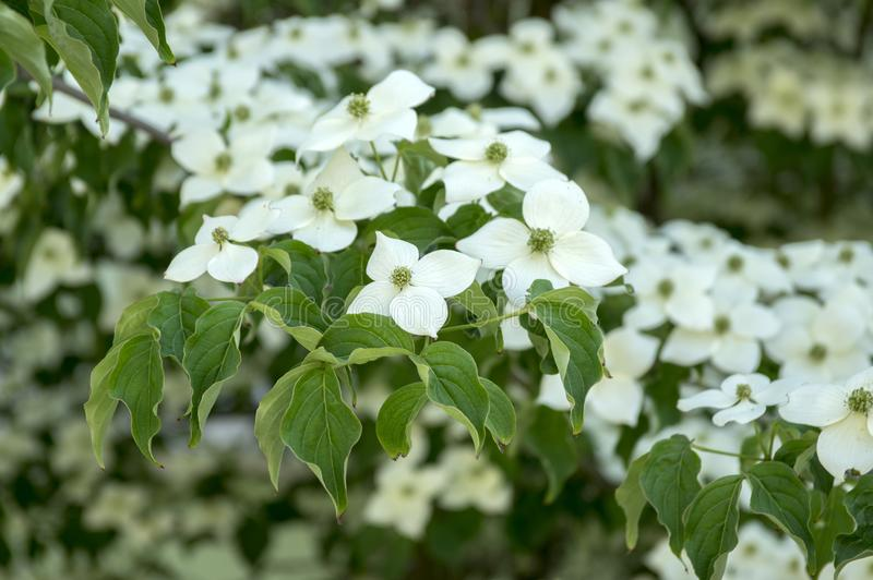Cornus kousa ornamental and beautiful flowering shrub, bright white flowers with four petals on blooming branches stock photo