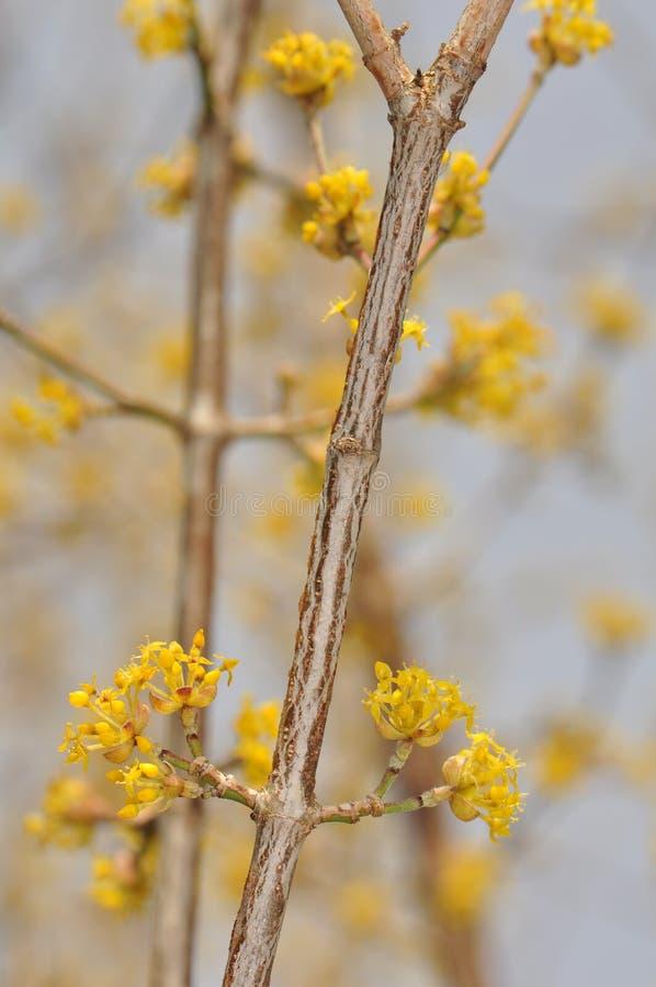 Download Cornus mas - Flower stock image. Image of recipe, spring - 24748259