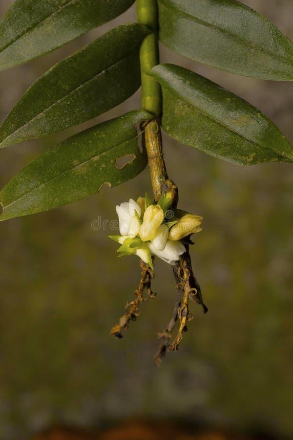Cornuta de Appendicula, orquídea, vila de Durgapur, Nagaland foto de stock