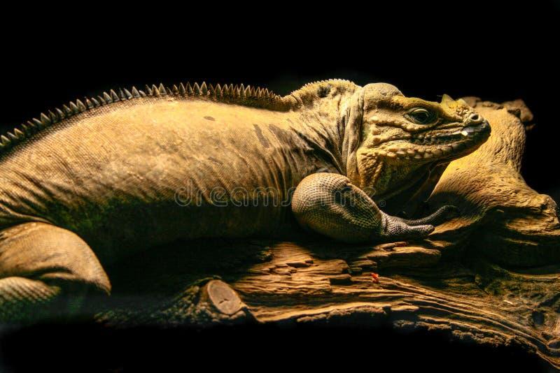 Cornuta Iguana Cyclura ρινοκέρων πάνω από έναν ξύλινο κορμό στοκ εικόνες με δικαίωμα ελεύθερης χρήσης