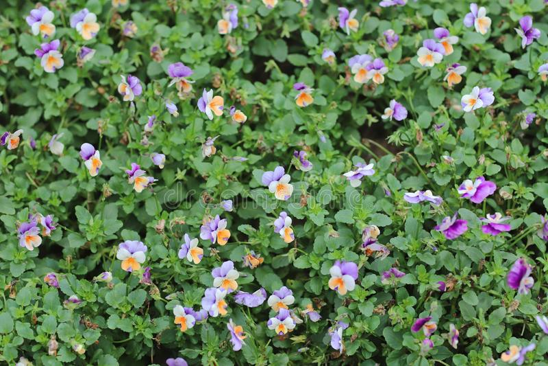 Cornuta Viola, κερασφόρος pansy, σχηματισμένος τούφες pansy στοκ φωτογραφίες