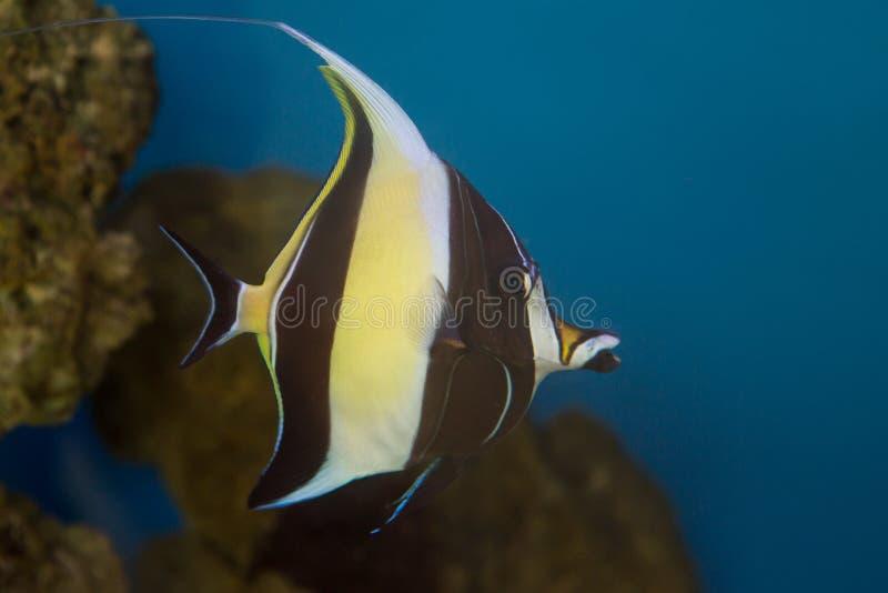 Cornutus mouro de Zanclus do ídolo o tipo de peixes conhecidos como a brânquia em encontrar Nemo imagem de stock royalty free