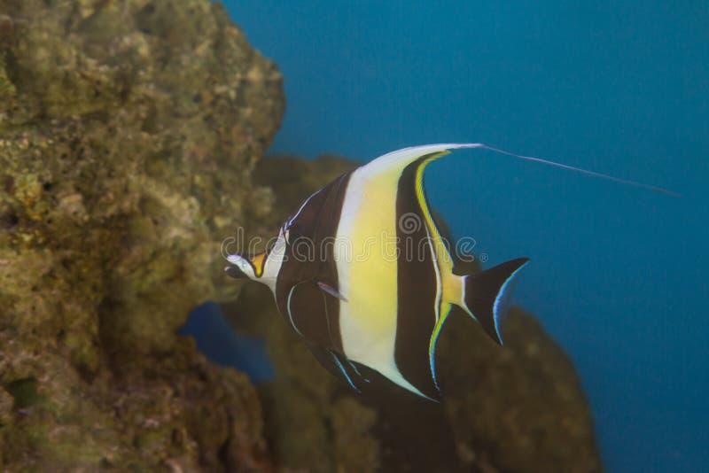 Cornutus mouro de Zanclus do ídolo o tipo de peixes conhecidos como a brânquia em encontrar Nemo foto de stock