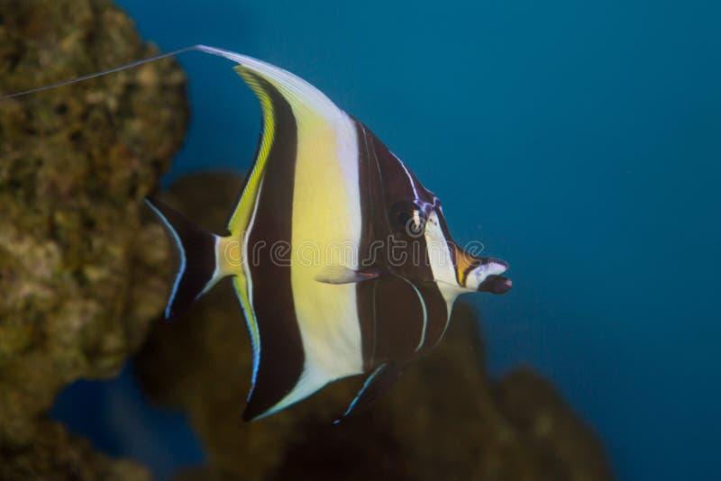 Cornutus mouro de Zanclus do ídolo o tipo de peixes conhecidos como a brânquia em encontrar Nemo imagens de stock royalty free