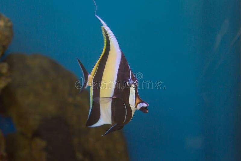 Cornutus mouro de Zanclus do ídolo o tipo de peixes conhecidos como a brânquia em encontrar Nemo imagens de stock