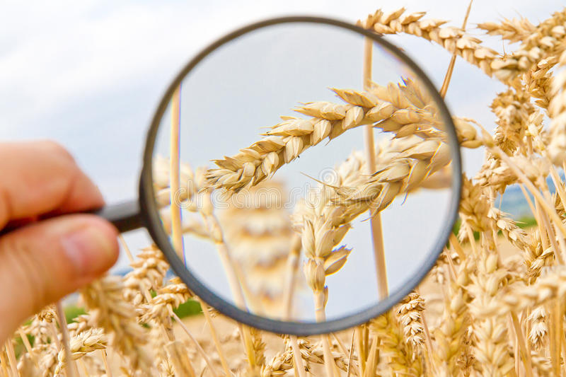 Corny field - ecological farming. Farmer control wheat with a magnifier royalty free stock photo