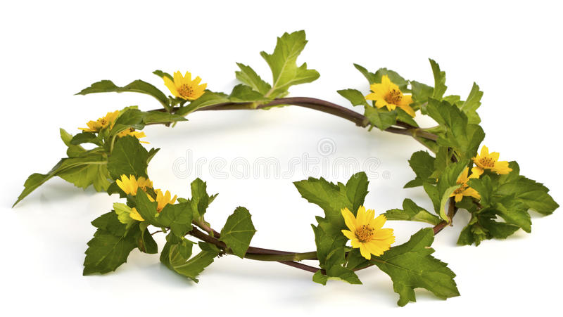 Coroa amarela bonita da flor isolada fotos de stock