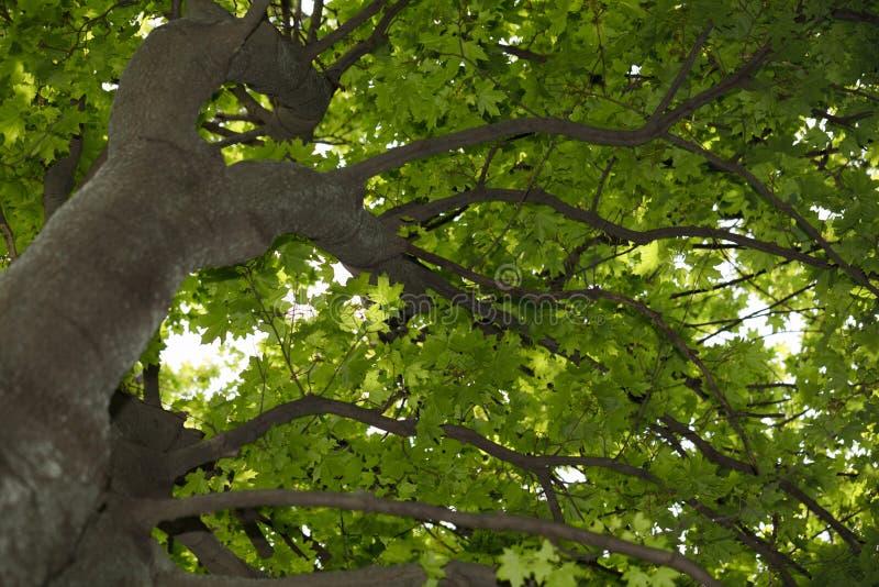 Coroa da árvore de Acer fotografia de stock