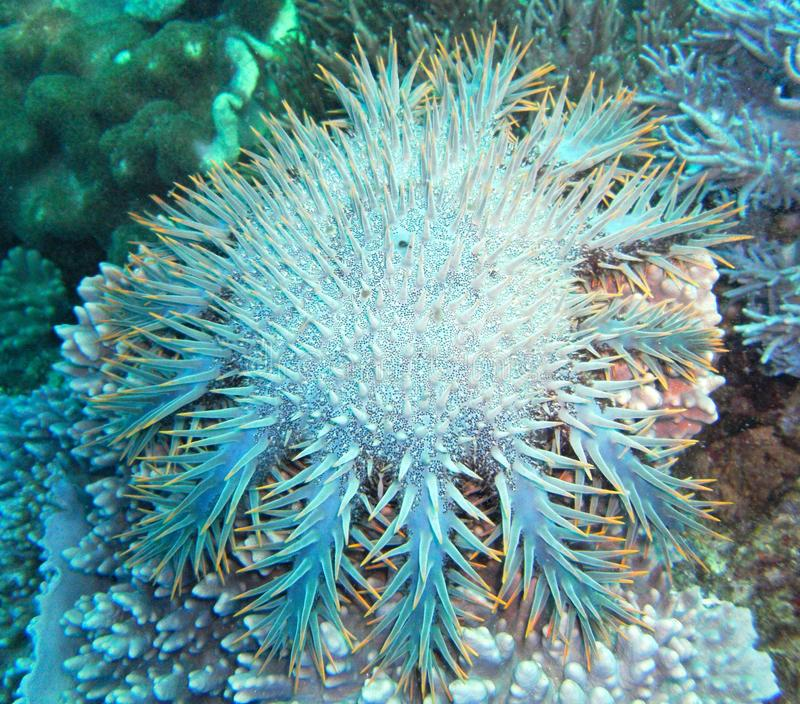 Coroa da estrela do mar dos espinhos fotografia de stock royalty free