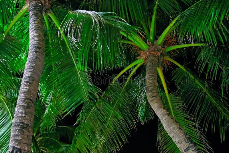 A coroa das palmas de coco é iluminada pela iluminação de rua em uma noite tropical Noite tropical do conceito Vista inferior imagem de stock royalty free