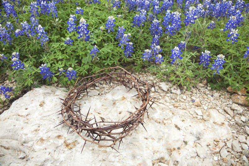 Coroa de espinhos na rocha ao lado dos bluebonnets de Texas fotos de stock