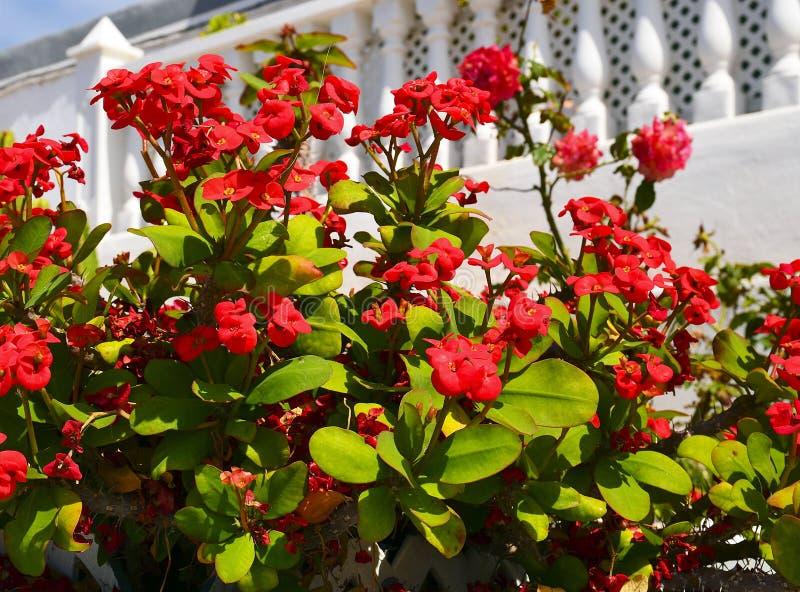 Coroa de espinhos, planta do milii do eufórbio de Cristo, espinho de Cristo que cresce no jardim em Tenerife, Ilhas Canárias, Esp imagens de stock