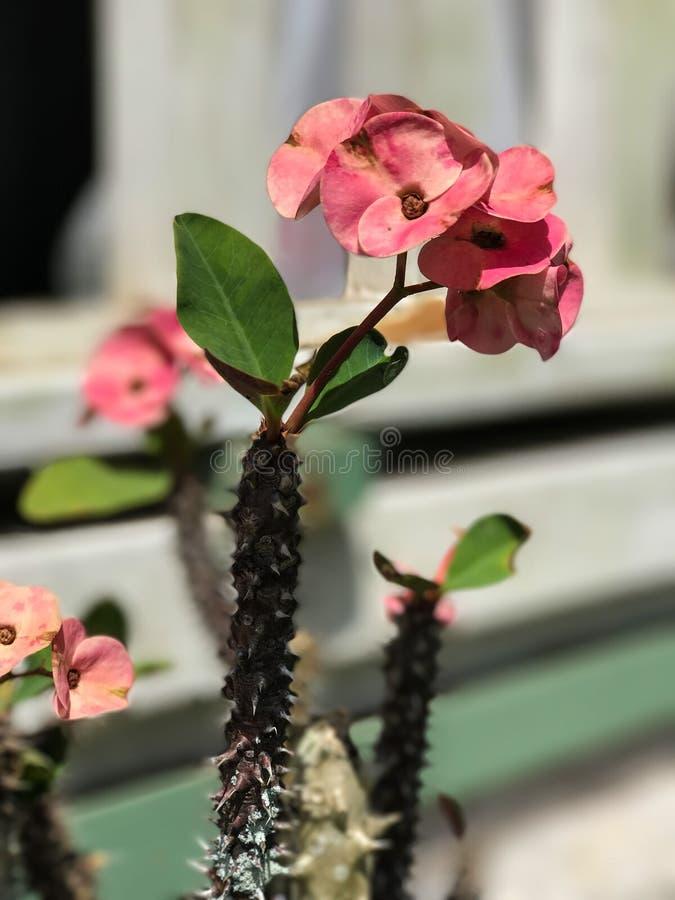 Coroa de espinhos que florescem o cacto fotografia de stock royalty free