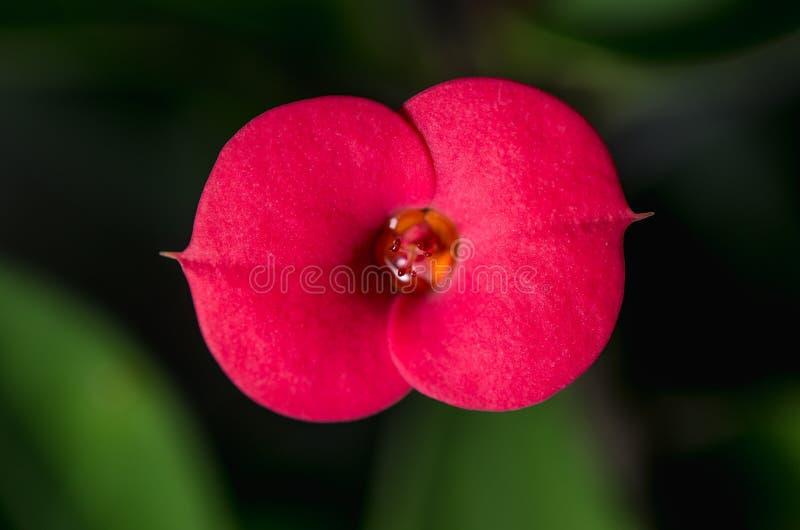 Coroa de espinhos vermelha, flor do milii do eufórbio, fim acima fotografia de stock royalty free