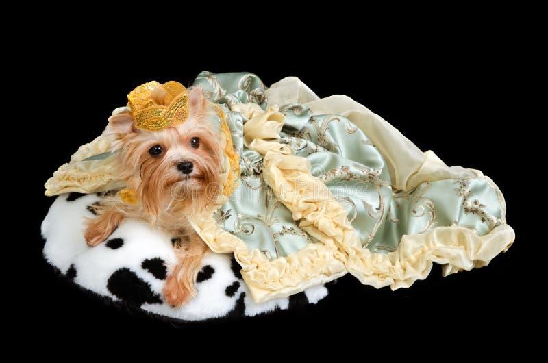 Coroa desgastando do cão real e vestido luxuoso imagens de stock