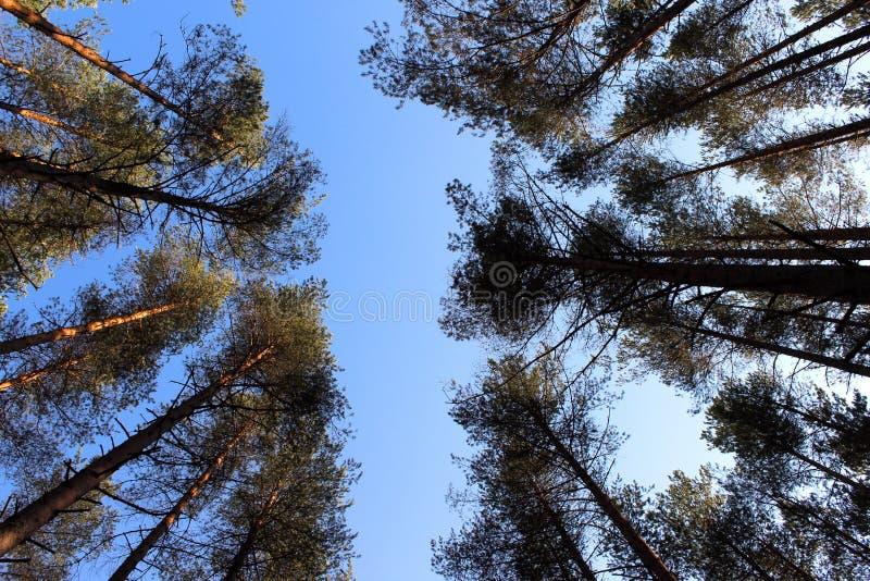 Coroa dos pinheiros no fundo do céu azul imagem de stock royalty free