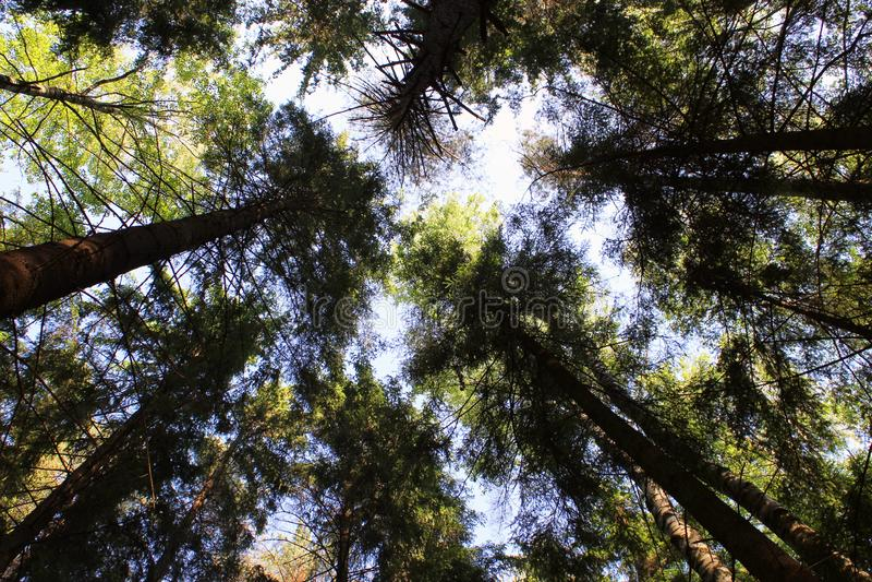 Coroa dos pinheiros no fundo do céu azul fotos de stock