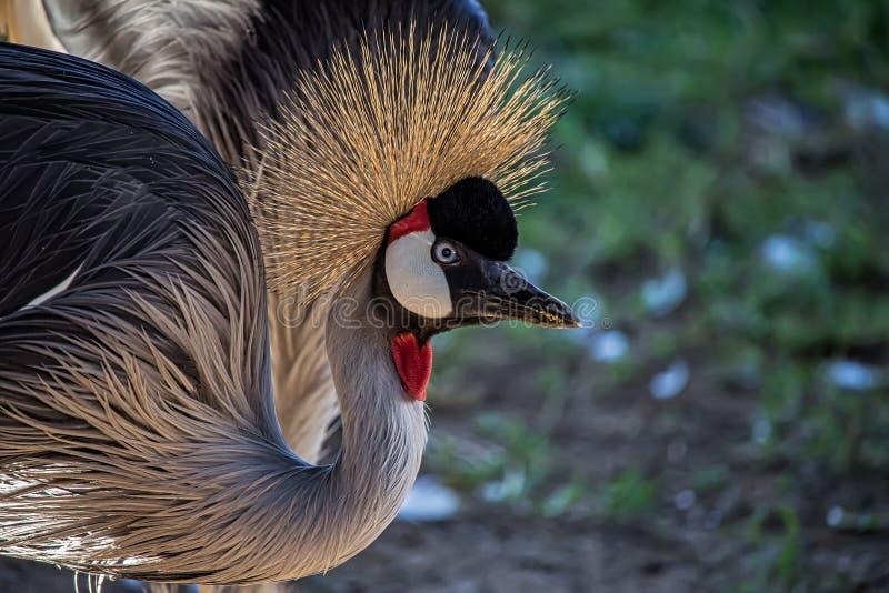 Coroado de Grou do pavonina de Balearica do pássaro aka, pássaro africano exótico - foto em detalhe de um coroado de Grou do pavo foto de stock